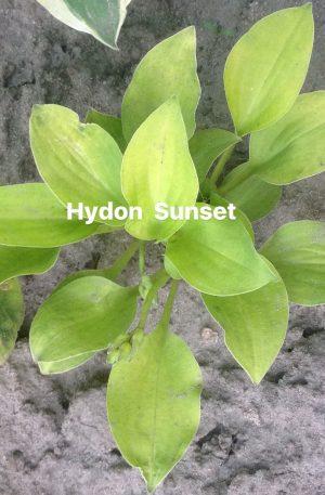Hydon Sunset